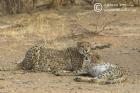 Subadult Cheetahs
