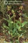 Epipactis densifolia