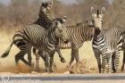 Equus hartmannae (Hartmann's Mountain Zebra)