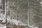 Snowfall in Black Pine forest