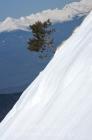 Solitary Black Pine