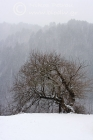 Snowfall, wild cherry tree