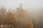 Birches in the fog