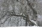 Snowfall, wild cherry tree