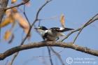 White-tailed Shrike
