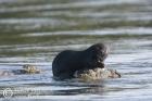 Spottednecked Otter