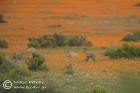 Steenbok amidst Namaqua daisies