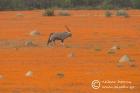 Gemsbok amidst Namaqua daisies