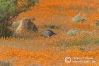 Helmeted Guineafowl amidst Namaqua daisies
