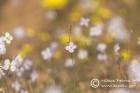 Heliophila laciniata