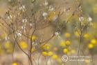 Trachyandra muricata