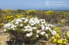 Mesmebryanthemum brevicarpum