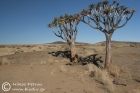 Quiver Trees in Namib-Naukluft National Park