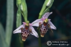 European orchids