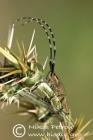 Agapanthia cynarae