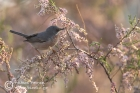 Subalpine Warbler