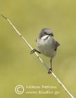 Eastern Orphean Warbler