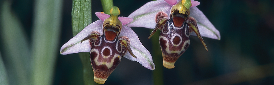 european-orchids gallery