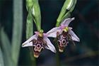 european-orchids thumbnail